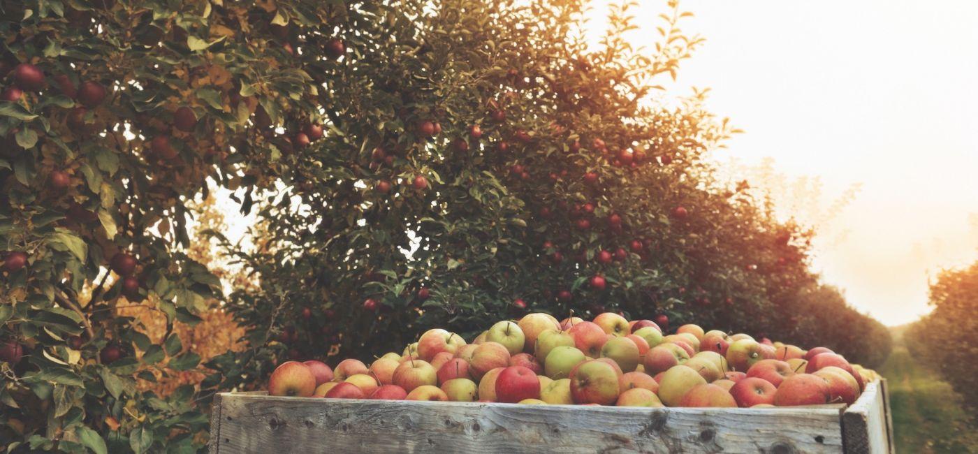 1633524272_stare-odmiany-drzew-owocowych.JPG