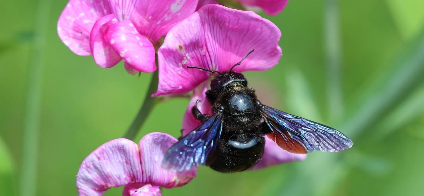 czarna-pszczola-01.jpg
