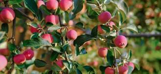 Rajska jabłoń w twoim ogrodzie