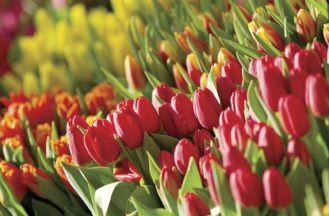 Tulipanowe dywany