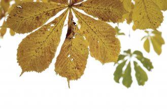 Palimy liście kasztanowca