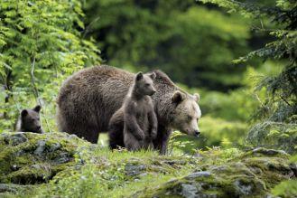 O niedźwiedziu prawd kilka