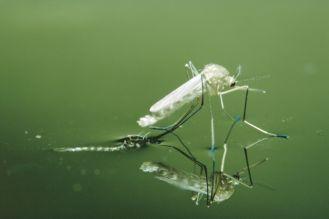 Pogoń komara