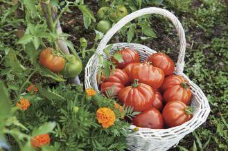 Sama uprawiam pomidory