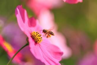 życie pszczół