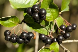 Aronia czarna - właściwości zdrowotne