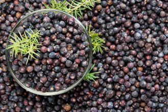 Zimowe jagody, czyli jałowcowe żniwa