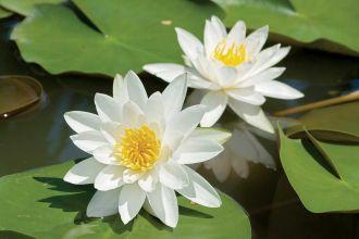 Rośliny do oczka wodnego
