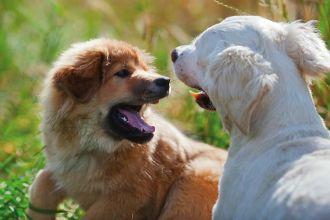 Dwa psy w domu: waśnie i przyjaźń