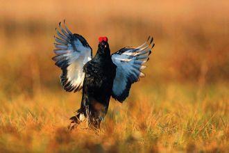 Cietrzew w Polsce – coraz mniej ptaków