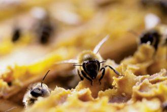 Pierwsze pszczoły