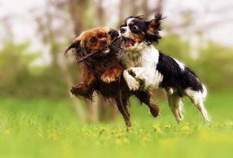 Drugi pies w domu – jak się przygotować?