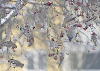 Zimowe ptaków liczenie