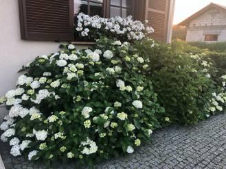 Hortensje – zdjęcia z ogrodów, poradnik uprawy