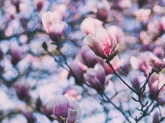 magnolia w ogrodzie kiedy sadzić