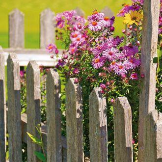 Aster gawędka – letni akcent w ogrodzie