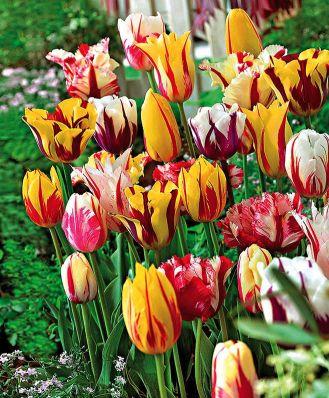 Tulipany Rembrandta