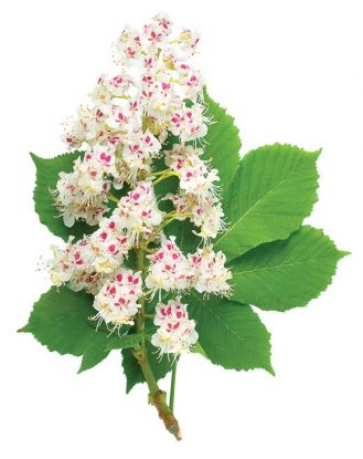 Herbata z kwiatów kasztanowca