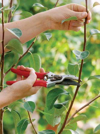 Cięcie czereśni i wiśni