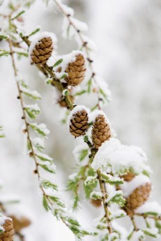 Szyszki zimowe klejnoty