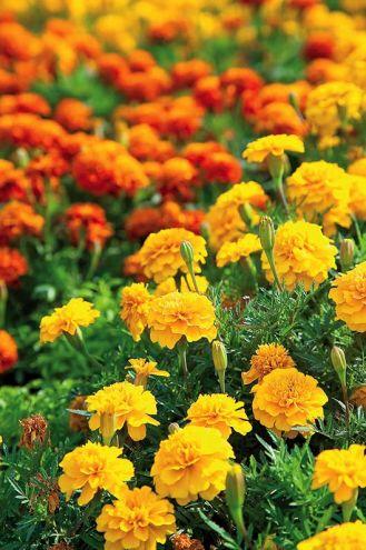 Aksamitka: kwiat dziewięciu imion