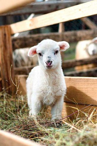 Folklor góralski: owce na hali