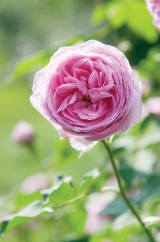 Sadźmy róże