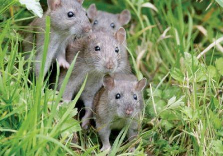 Szczur w ogrodzie