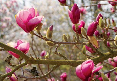 Kwitnąca magnolia w ogrodzie