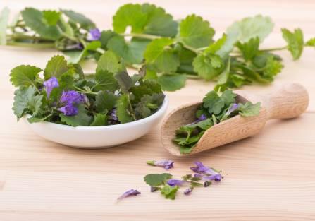 Kurdybanek – ziele bluszczyku