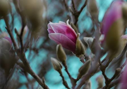 magnolia w ogrodzie kiedy kwitnie