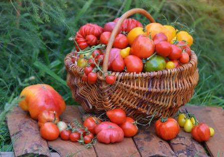 domowa uprawa pomidorów