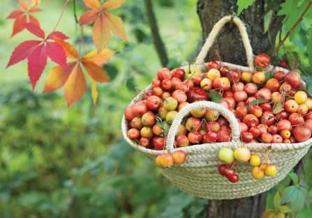 rajska jabłoń