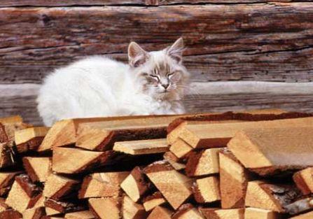 Czy biały kot przynosi pecha?