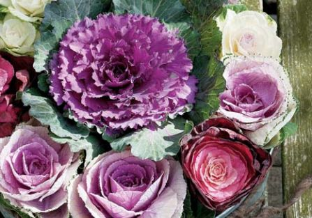 Kapustki jak róże