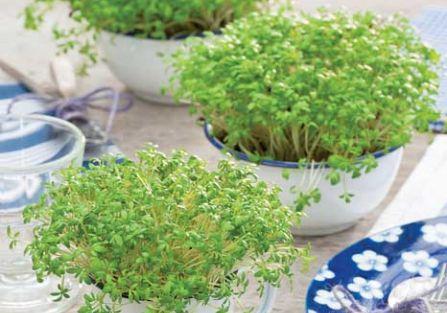 Zielone zdrowie - rzeżucha, owies i rukiew wodna