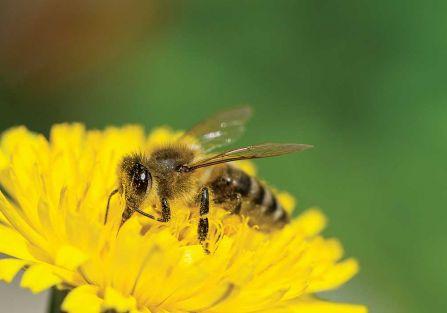 Pszczeli pyłek na odczulanie