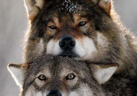 Mądre wilki