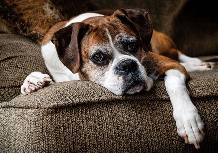 Czas na emeryturę: starość u psa