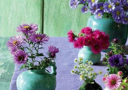 Kolorowe astry marcinki – piękne, jesienne kwiaty