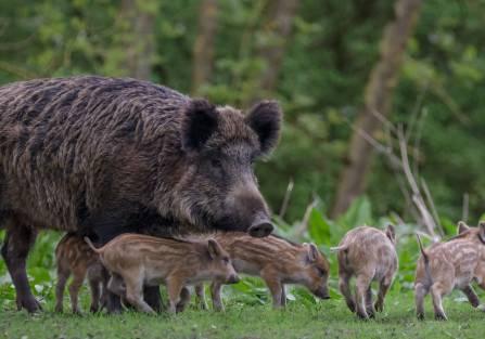 dziki w polsce