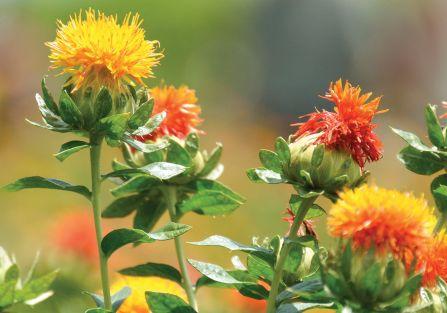 kwiaty suszki