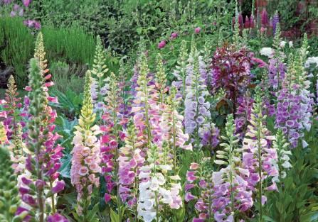 Kwiaty dzwonki do ogrodu: czarują zapachem, uwodzą kolorem