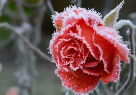 Róże w ogrodzie – jak zadbać o nie jesienią?