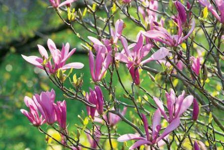 Piękna magnolia w Twoim ogrodzie