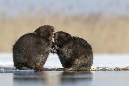 W lutym podglądamy bobry