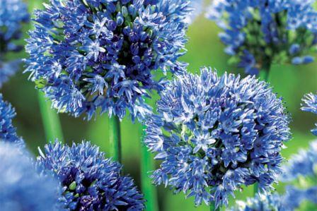 kwiaty cebulowe