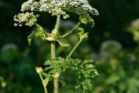 niebezpieczne rośliny