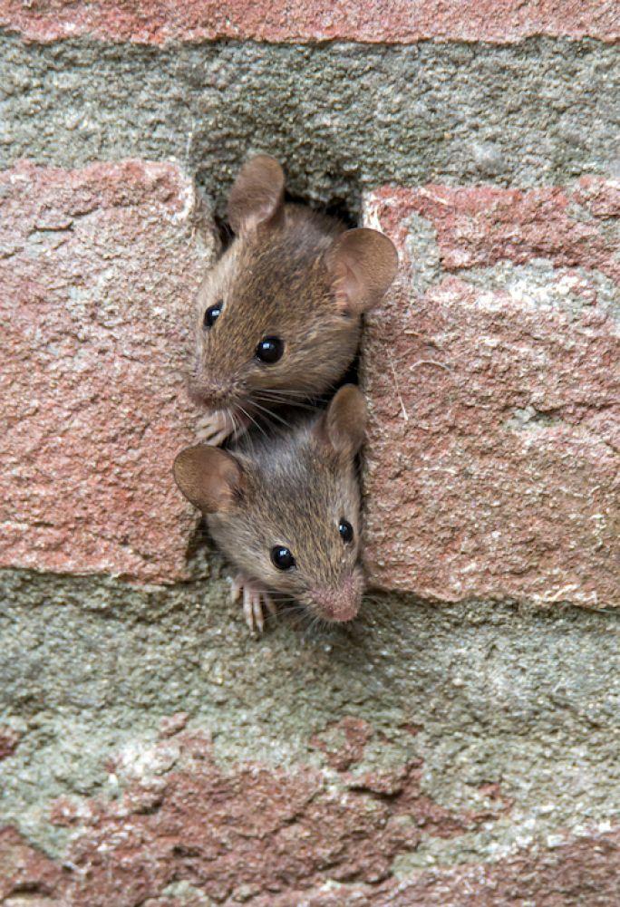 co na myszy w domu
