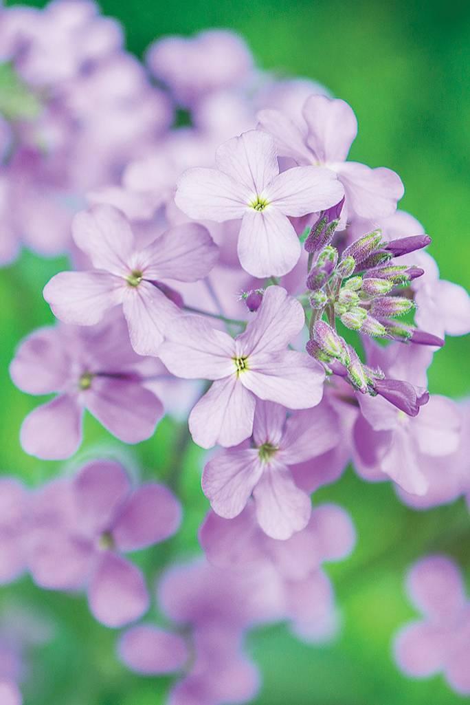 maciejka kwiat